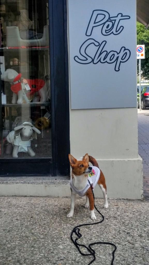 pet_shop_venice_podengo_resa_med_hund