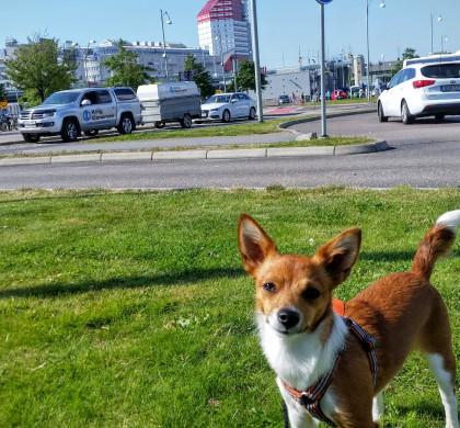 Hundvänliga Göteborg – Podengo på stan