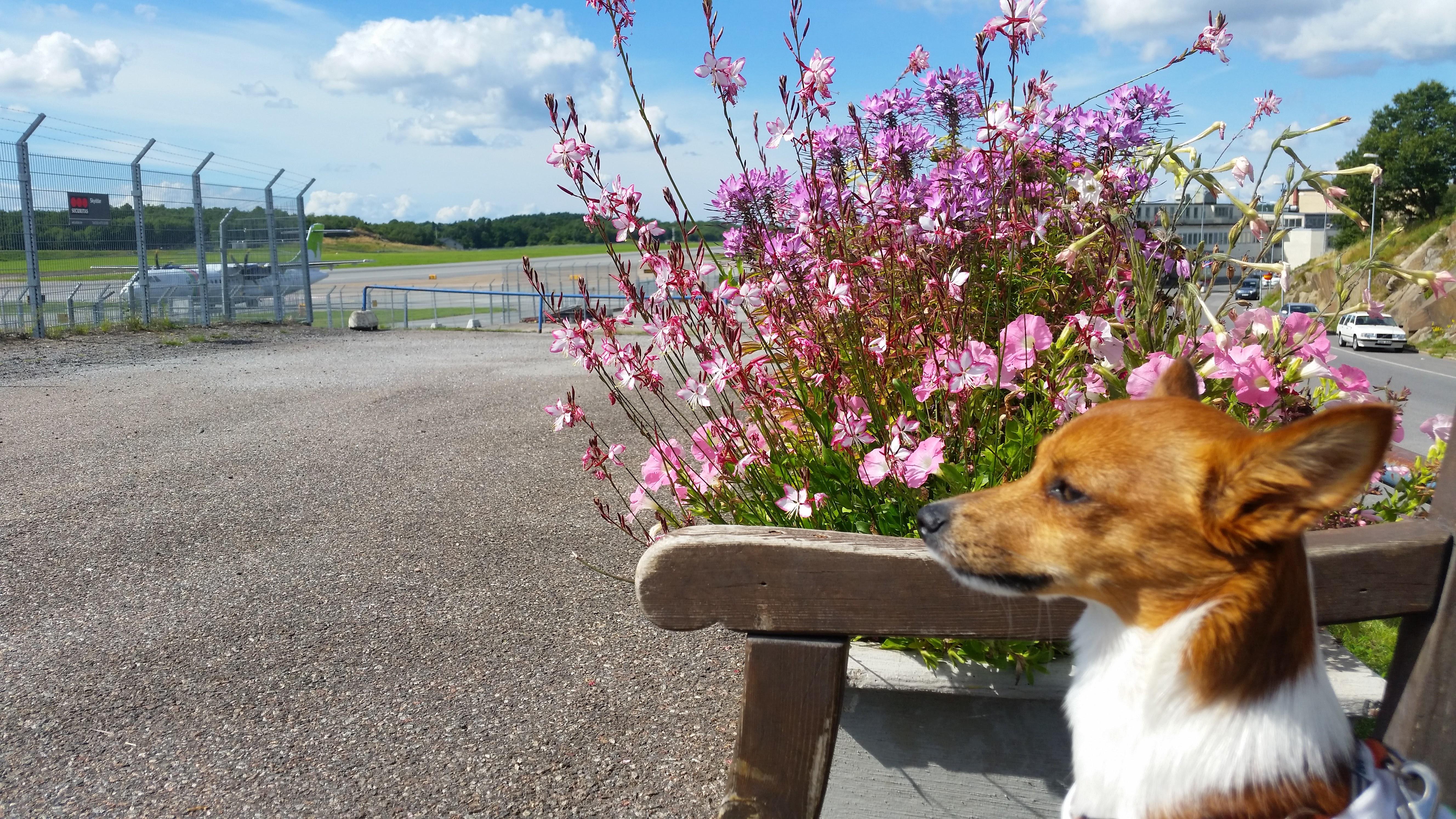 Flyga med hund 5 tips